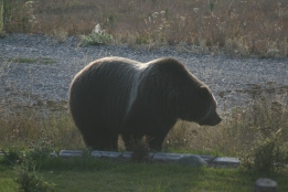Grizzly Bear out front of our house