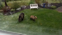 Grizzly and Cub in our back yard.